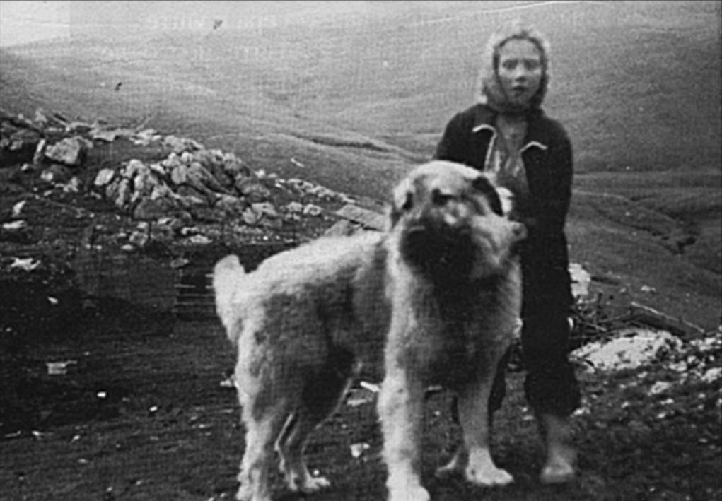 sharplaninec mountain sheepdog macedonia